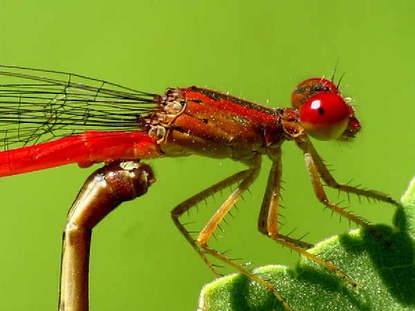 picture of a Firetail Damselfly