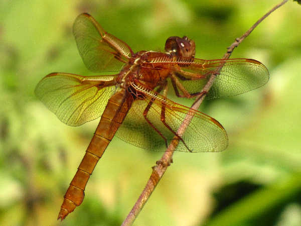 picture of a female flame skimmer dragonfly