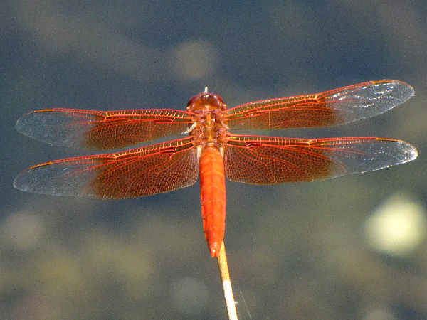 picture of a flame skimmer dragonfly, part of the dragonfly pictures guide