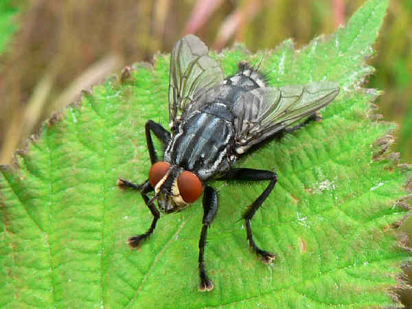 picture of a flesh fly