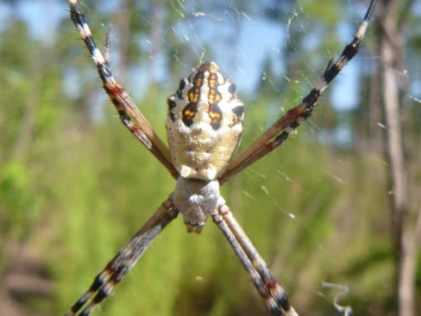 picture of a Florida Garden spider, South Carolina spiders