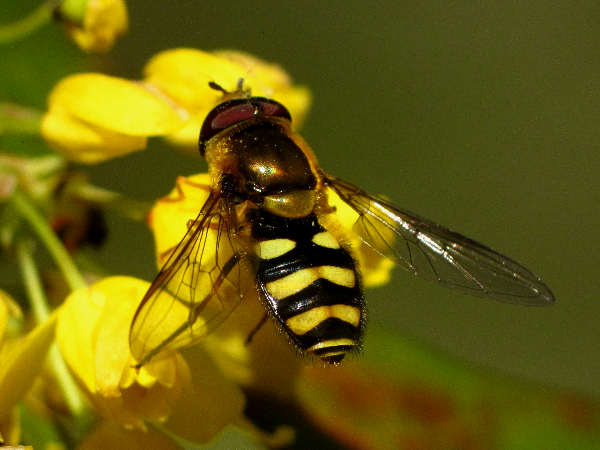 picture of a flower fly or syphrid fly, part of the different types of insects collection