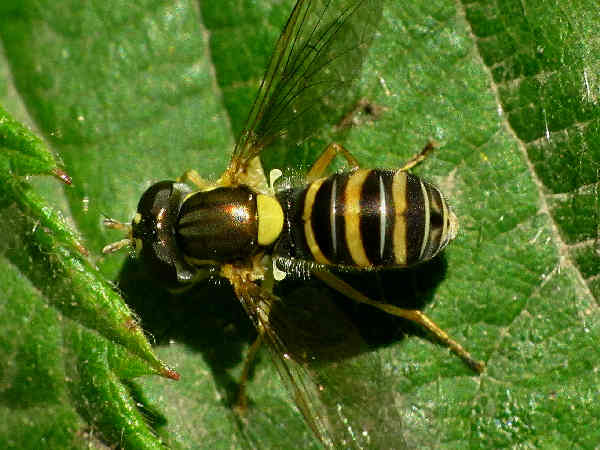 picture of a flower fly