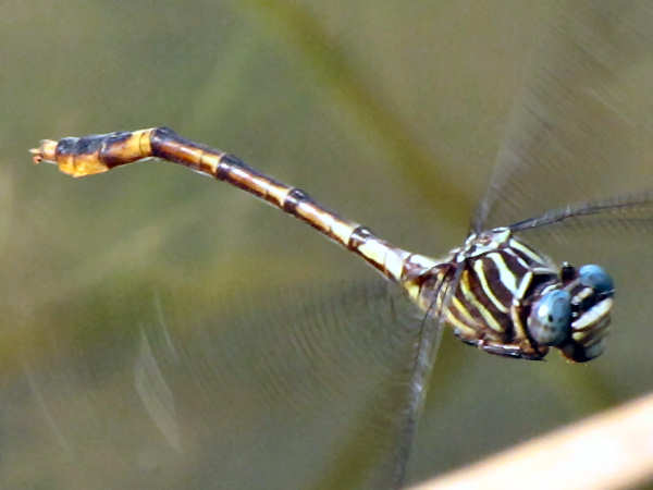 picture of a Narrow-striped Forceptail (Aphylla protracta) dragonfly