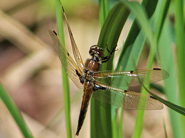 picture of a four-spotted skimmer dragonfly, part of the skimmer dragonfly pictures section