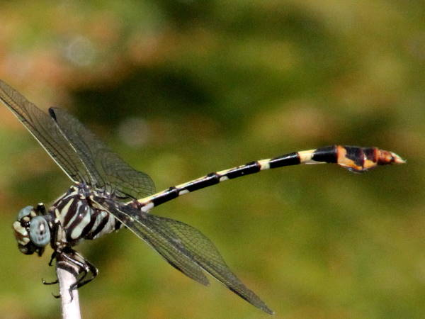 picture of a Four-striped Leaftail dragonfly