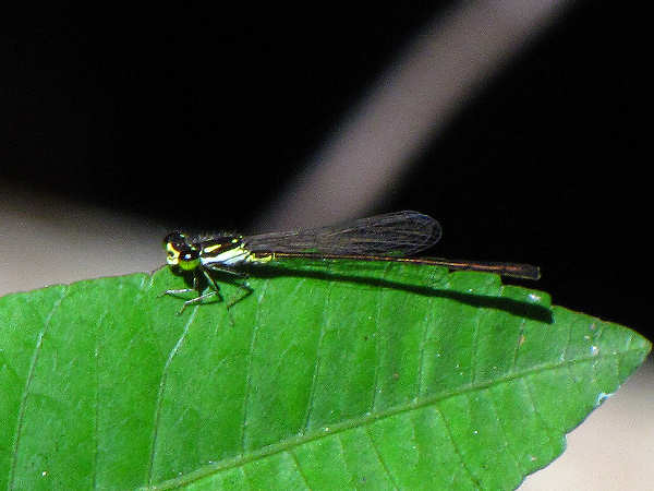 picture of a fragile forktail damselfly, one of the fortail damselflies series