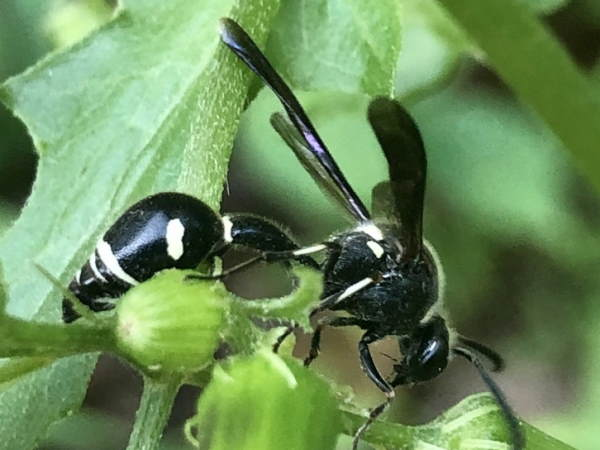 picture of a fraternal potter wasp, Pennsylvania wasps