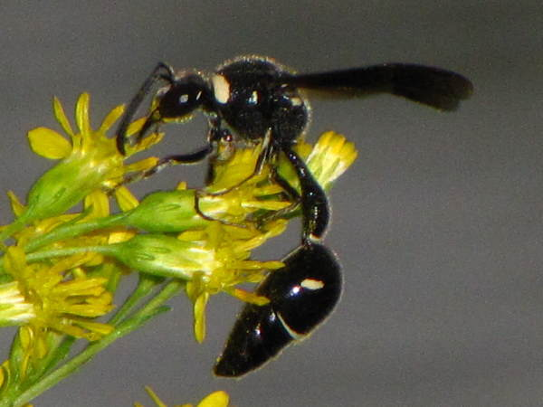 picture of a Fraternal Potter Wasp, Michigan wasps