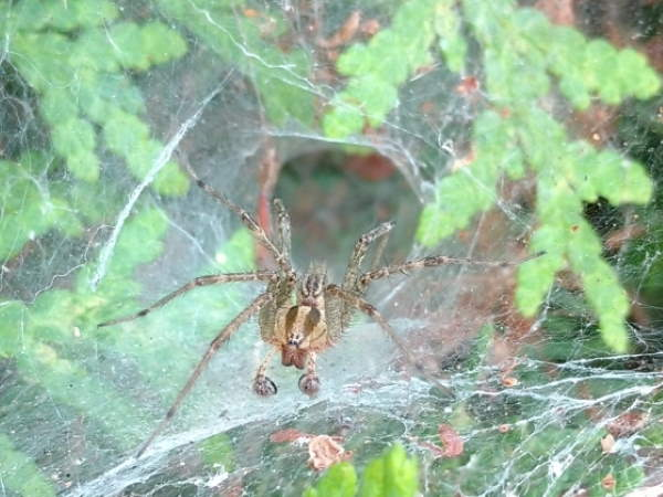 picture of a Funnel Weaver web with a spider in it, Delaware spiders