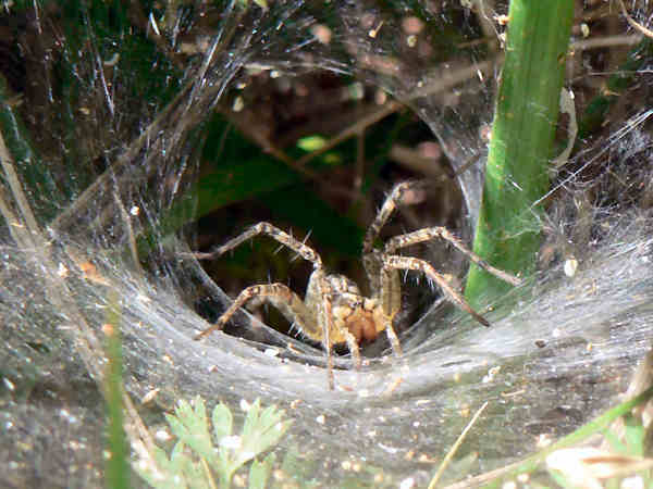 picture of a Funnel Web spider in its funnel web, types of spiders