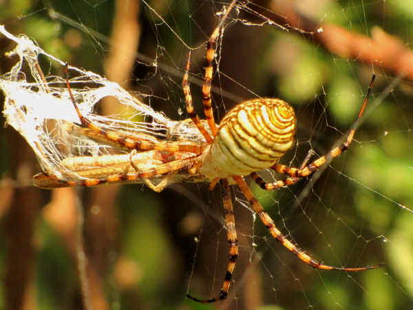 picture of a banded argiope, a writing spider species