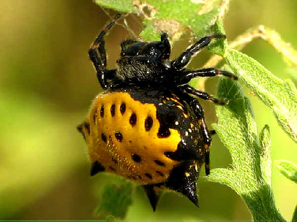 picture of a orb weaving spider, Gasteracantha cancriformis genus