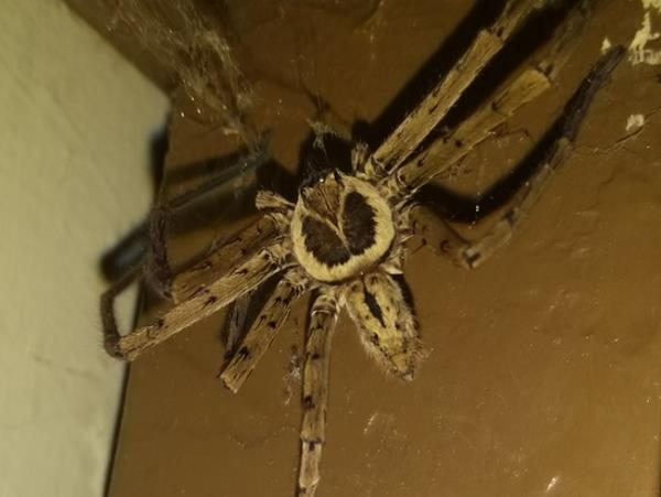 picture of a Giant crab spider or male Huntsman's spider,