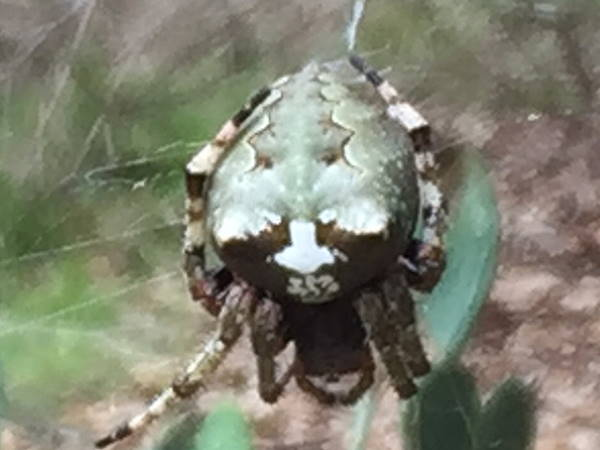 picture of a Giant Lichen Orbweaver spider