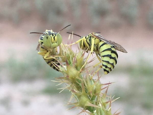 picture of a sand wasp in the genus Glenostictia