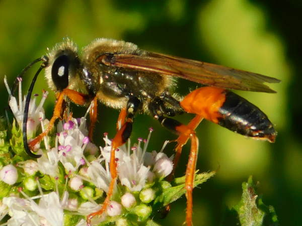 picture of a Great Golden digger wasp part of the Pennsylvania wasps series