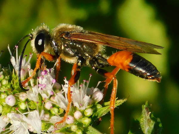 picture of a great golden digger wasp on a flower