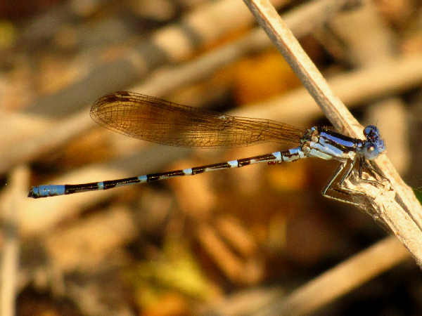 picture of a Golden-winged Dancer damselfly