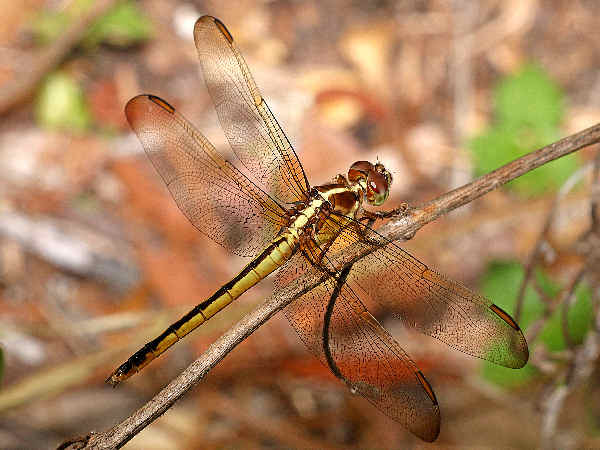 picture of a Golden-winged Skimmer dragonfly, part of the dragonfly pictures guide
