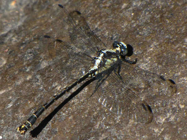 picture of a male grappletail dragonfly