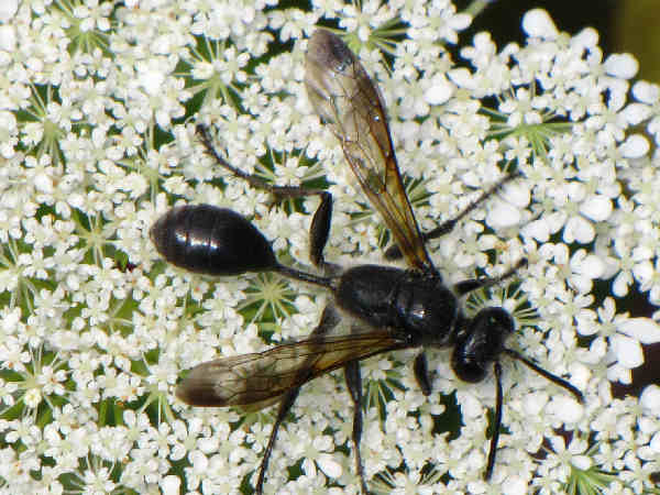 picture of a grass carrying wasp