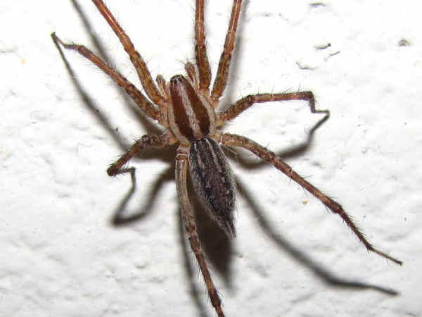 picture of a grass spider