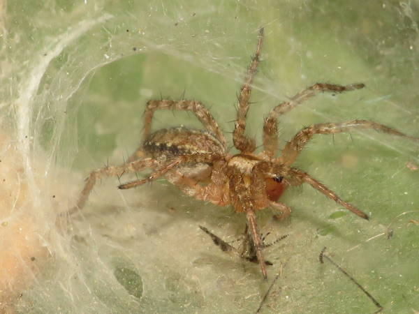 picture of a funnel weaver spider, Grass Spider