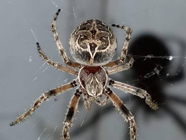 picture of a Gray Cross Spider, Larinioides sclopetarius, Delaware spiders