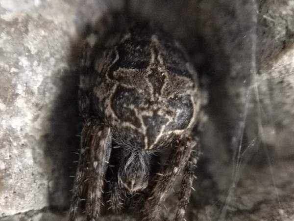 picture of the Gray Cross spider, part of the Massachusetts spider section