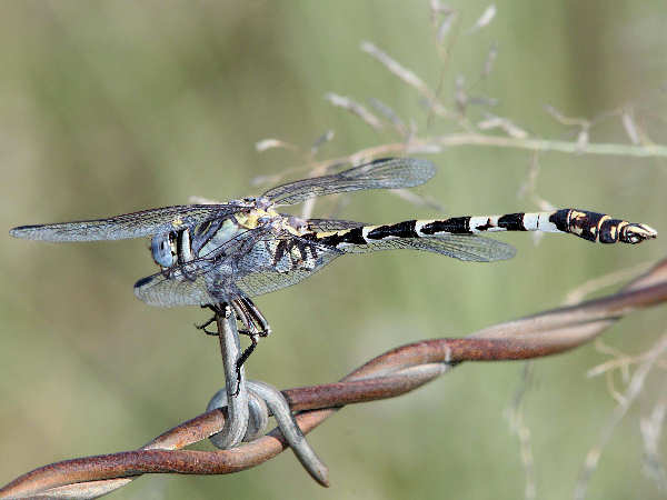 picture of a Gray Sanddragon dragonfly