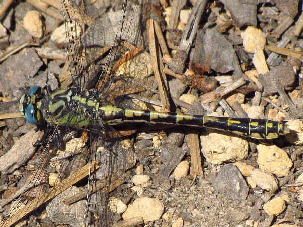picture of a Great Basin Snaketail