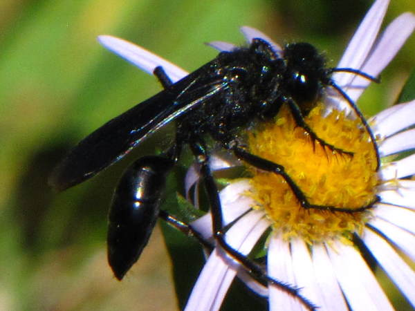 picture of a great blackden digger wasp on a daisy