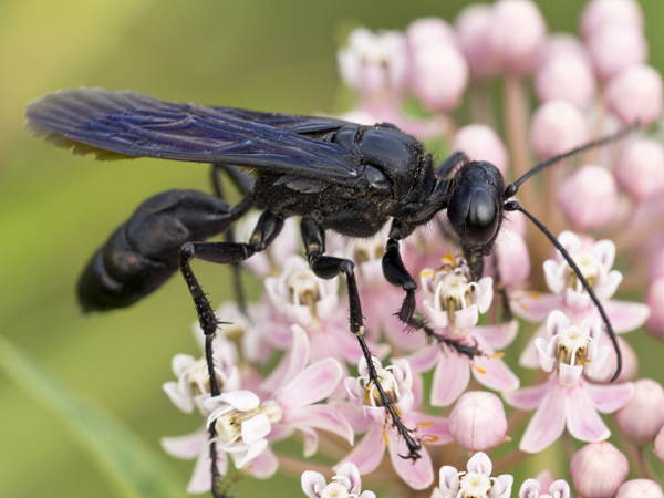 picture of a Great Black Digger Wasp, Sphex pensylvanicus, part of the Pennsylvania wasps series