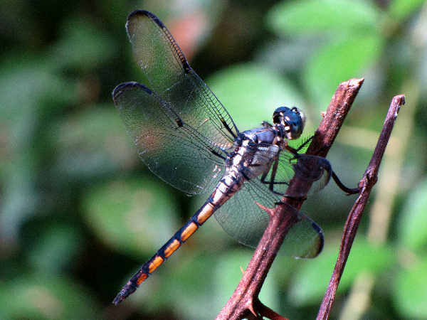 picture of a Great Blue Skimmer dragonfly