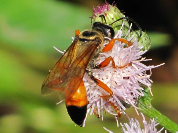 picture of a Great Golden Digger Wasp, another type of Florida wasp