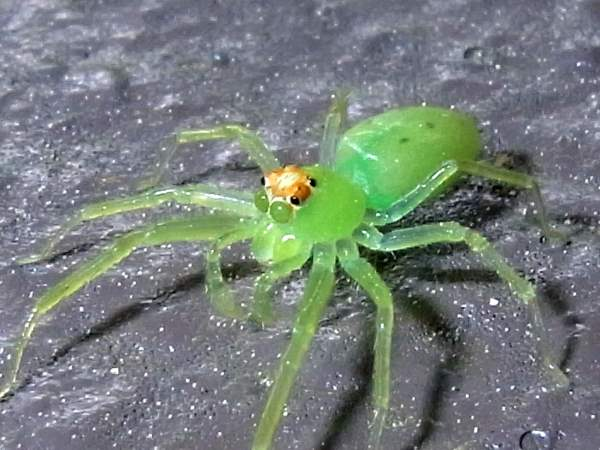 picture of a Magnolia Green Jumper (Lyssomanes viridis), Maryland spiders