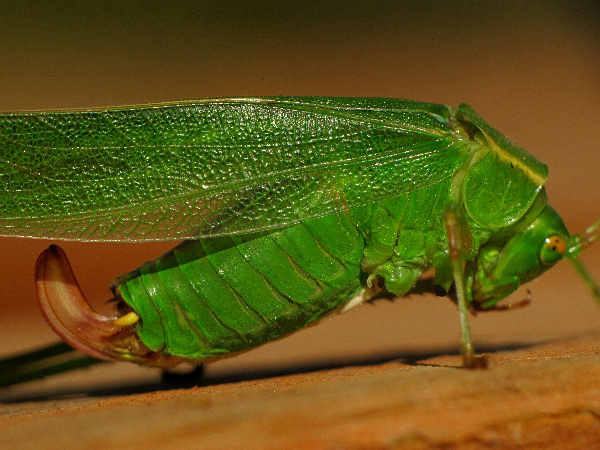 picture of a green katydid, the fork-tailed bush katydid, Scudderia furcata
