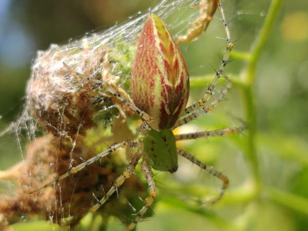 picture of a Green Lynx spider, Nevada spiders