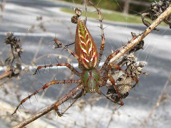 picture of a Green Lynx Spider, part of the Alabama spiders collection