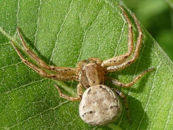 picture of a Ground Crab spider, Xysticus