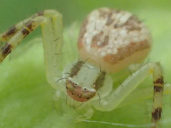 picture of a hairy crab spider