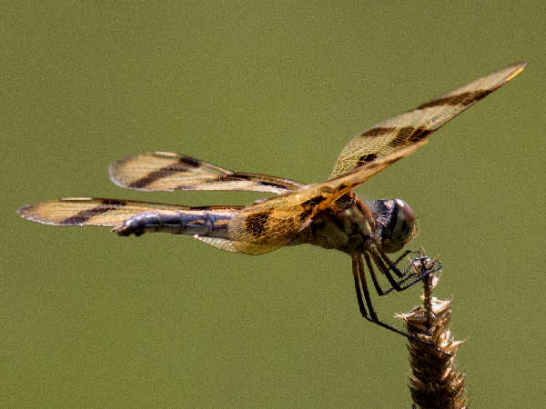 picture of a  Halloween Pennant dragonfly