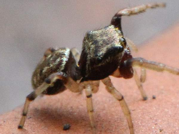 picture of a hammer-jawed jumping spider, Zygoballus rufipes - Hammerjawed Jumper