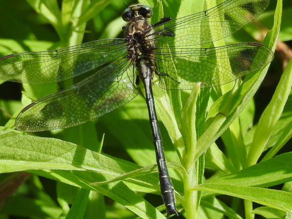 picture of a Harpoon Clubtail dragonfly