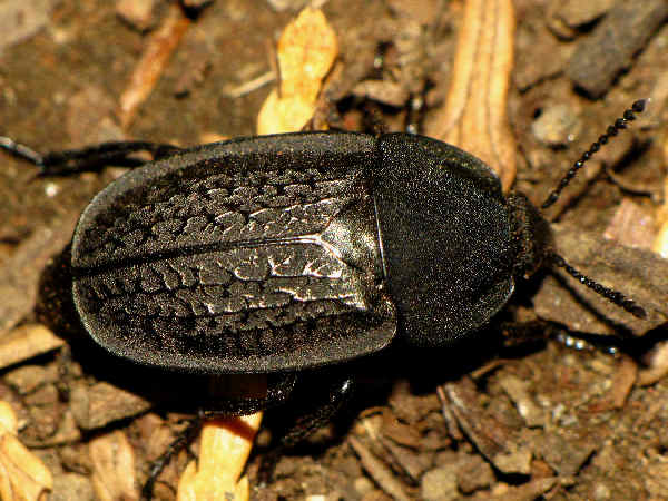 picture of a carrion beetle, heterosilpha-ramosa