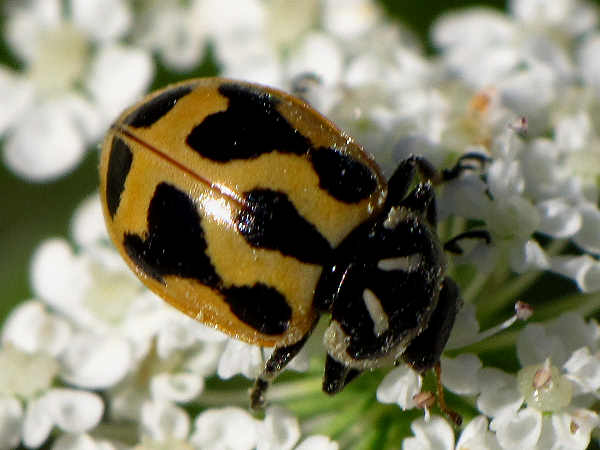 picture of a ladybug, Hippodamia Sinuata, different kinds of ladybugs