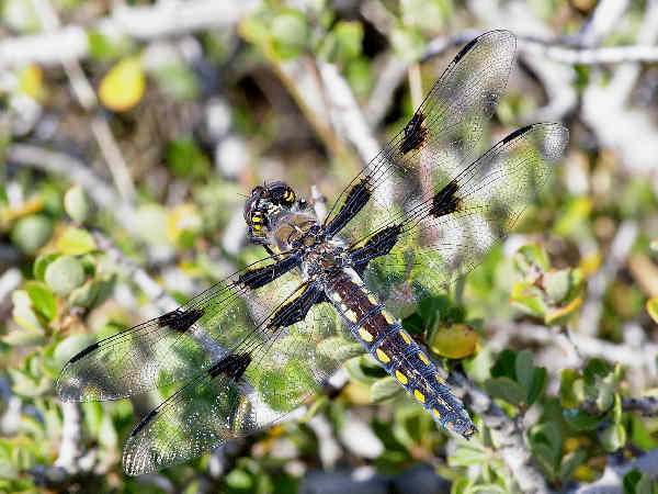 picture of a Hoary Skimmer dragonfly