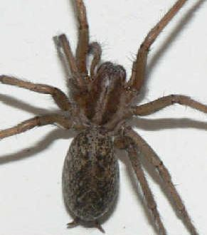 picture of a Hobo Spider