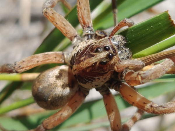 picture of a Wolf Spider in the Hogna genus